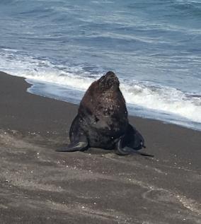 Seewolf am Strand von Cobquecura